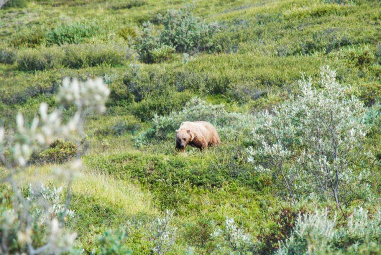 Grizzly im Denali Nationalpark